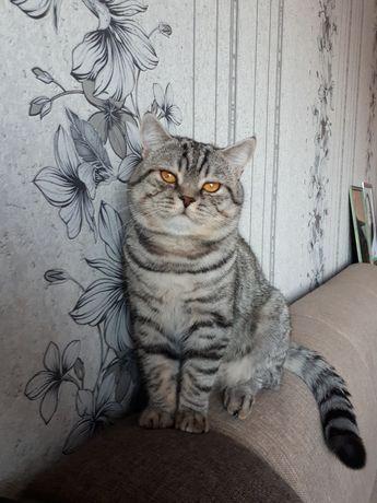 Кот британец на вязку