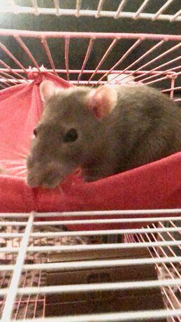 отдадим крысу в добрые руки