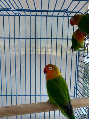 Продам попугаев неразлучников. Пара 25000. В месте с большой клеткой.