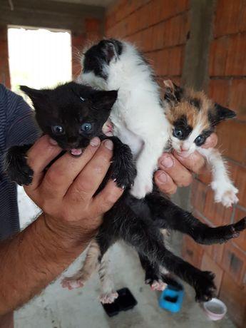 Pisicei spre adopție