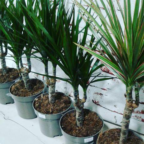 Драцена пальма 30см