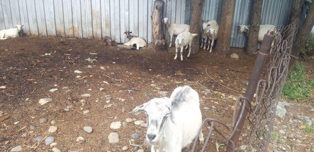 Продам дойных коз козлят оптом срочно