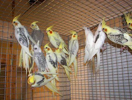 Корелла попугай мальчики и девочки