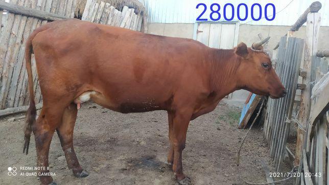 Продам корову. Сиыр сатамын.