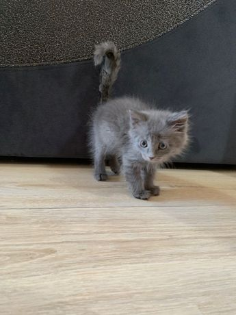 Продается котик 3 мес, к лотку приучен, очень игривый, мальчик