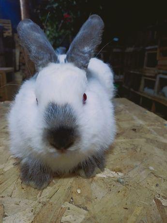 Кролик самец 5 месяцев
