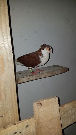 Porumbei jucători de galati