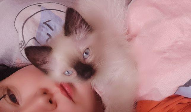 Продам котенка невского маскарадного
