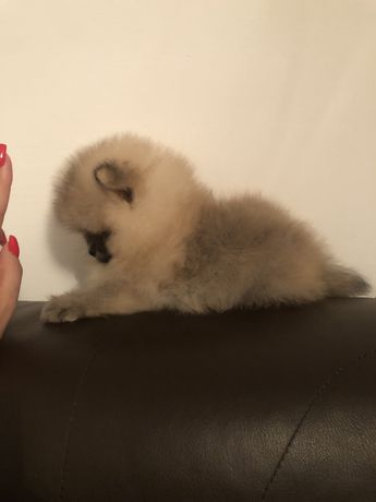 Pomeranian toy rasa pura cu pedigree