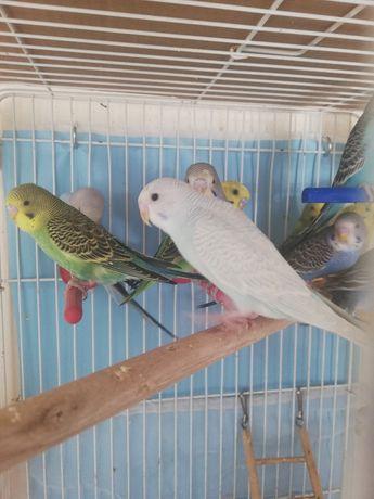 Зоомагазин zoolife.kst Волнистые попугайчики птенцы