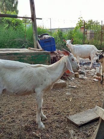 Англо-нубийский козел на случку. Кашырту, сату емес