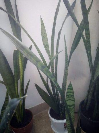 Сансевиера растение