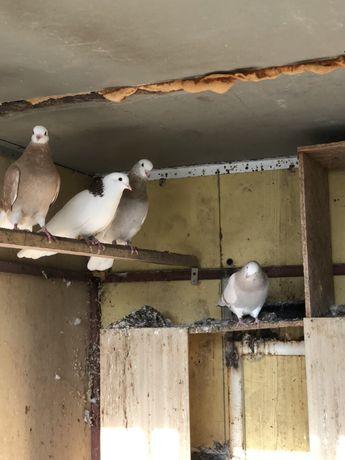 Продавам различни породи гълъби: николаевски, гривуни, андижански и др