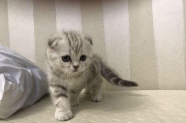 Вислоухие и прямоухие котята