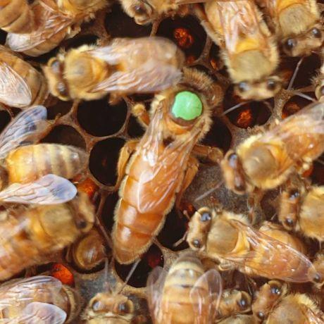 Matci Italiene -Ligustica imperecheate/neimperecheate