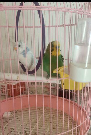 Продам Папугай парой мальчик девочка