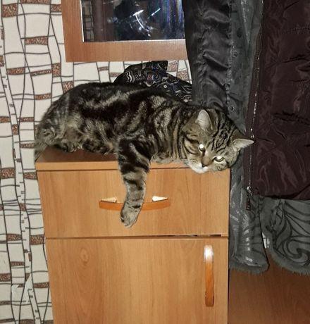 Шотландский котик на вязку