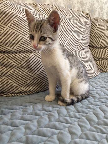 Котенок породистый