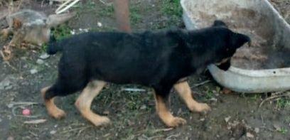 Продам щенка немецкой овчарку (сучка)