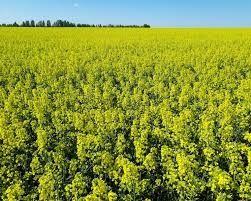 Соя пшеница рапс кукуруза ячмень гречка