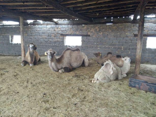 Продам верблюдов