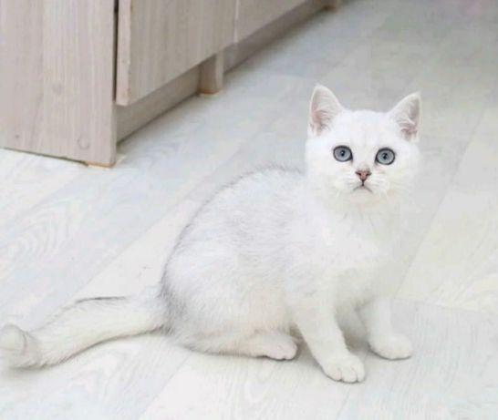 Шиншиллы британские Подрощенные котята в разведение