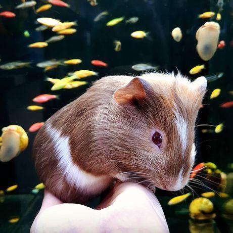 Морская свинка малыши