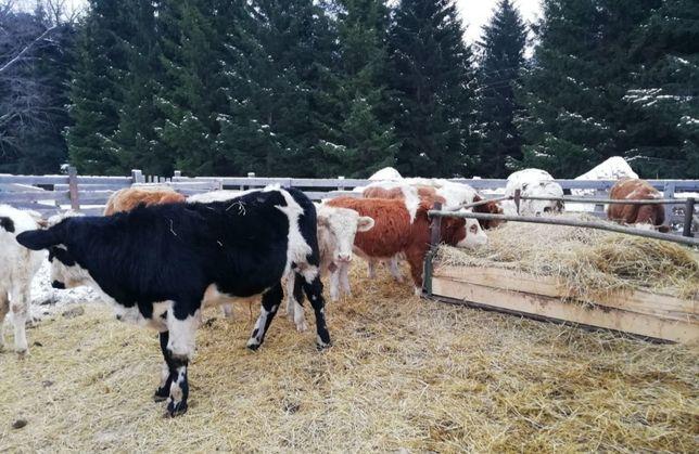Продается Корова, телка и теленок. Я