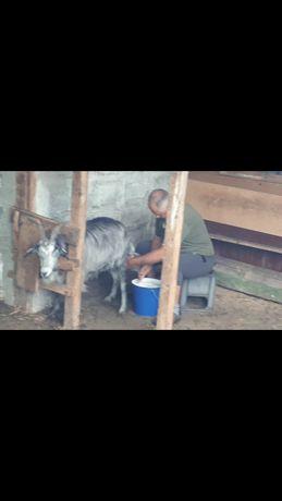 Producator local vand lapte capra