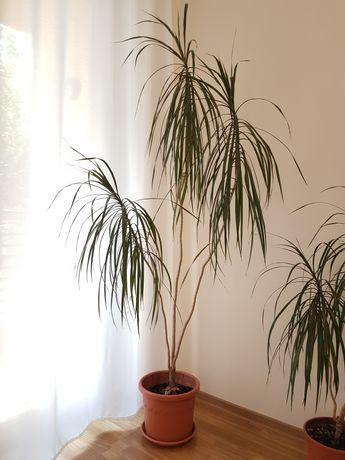 Vand planta decorativa, 2 metri inaltime