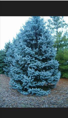 Голубая ель, сосна крымская