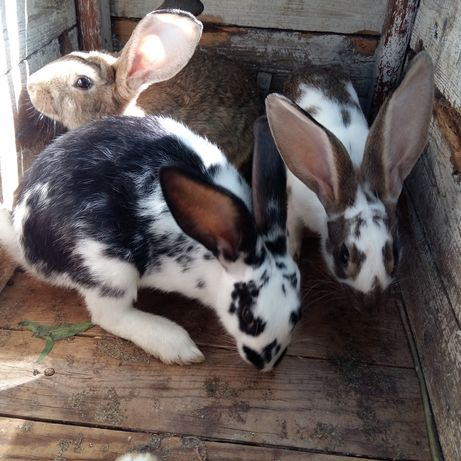 Продам кроликов породы бабочки