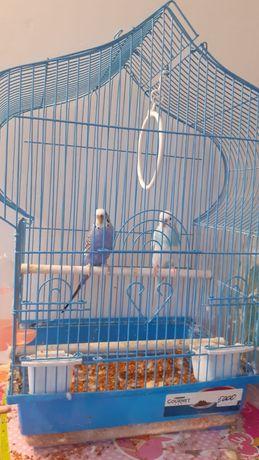 Волнистые попугаи 2 штуки