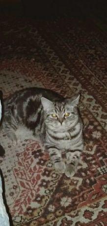 Крупный кот Скотишь страйт с документами