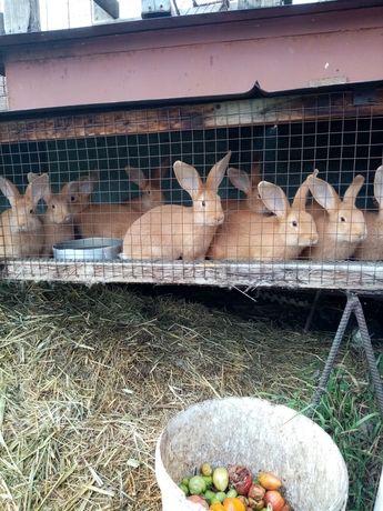 Продам кроликов чистокровной бургундской породы