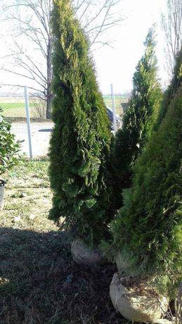 Plante ornamentale la prețuri de producător : - tuia smaragd ( 1,2m -