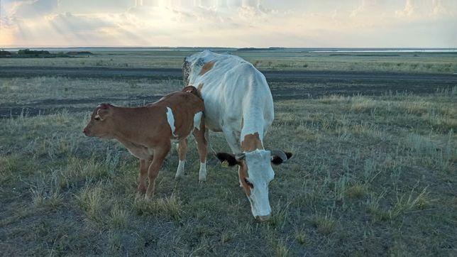 Продам корову с теленком бычок