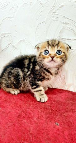 Продам шотландского Скоттиш Фолд вислоухого котёнка