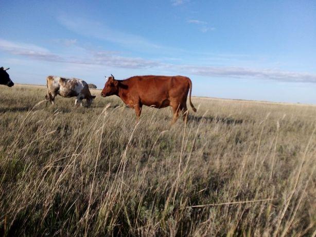 Продам стельных коров с телятами