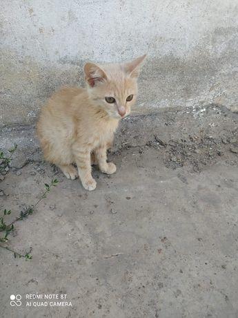 Персиковый котенок.     .