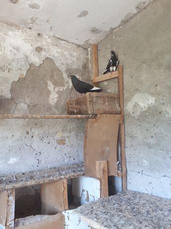 Летные игравые голуби