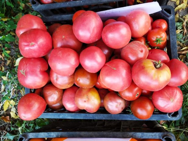 Срочно продам помидоры домашние
