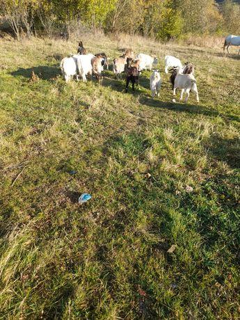 Vând 15 bucăți 14 capre și un țap