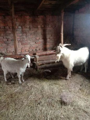 Продам козла и козу можно на развод можно на мясо