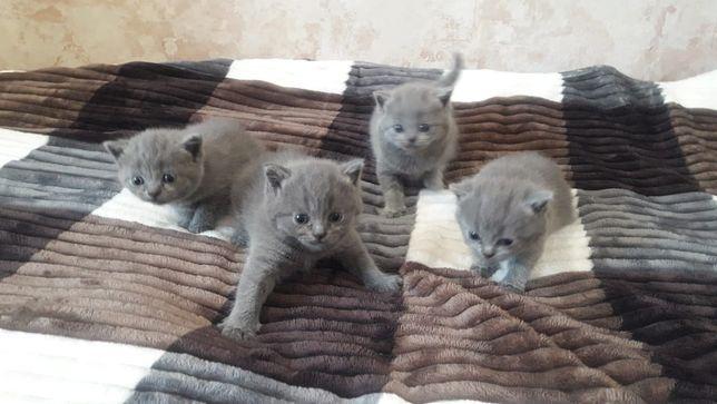 Британские чистокровные котята.