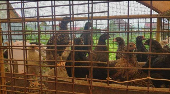 Цыплята разных возрастов(несушки)