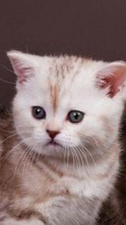 Продам котят полубританчиков