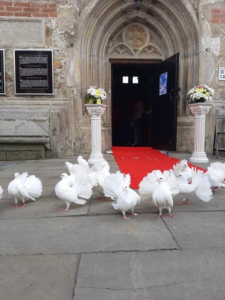 Porumbei albi pentru nunti