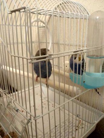 Продам 2 волнистых попугаев