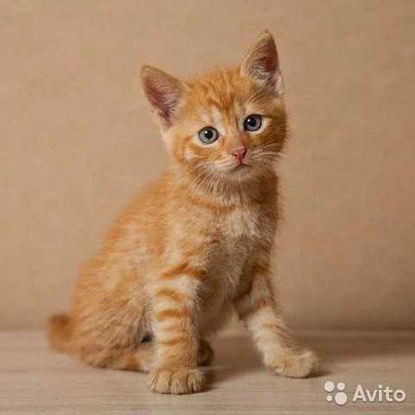 Рыжий котенок солнышко в добрые руки.